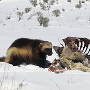 Wolverine adult feeding on a deer carcass in the Rocky Mountains. Captive Animal