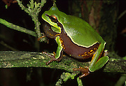 Pine Barrens Treefrog; Hyla andersoni; NJ, Brenden T. Byrne State Forest;