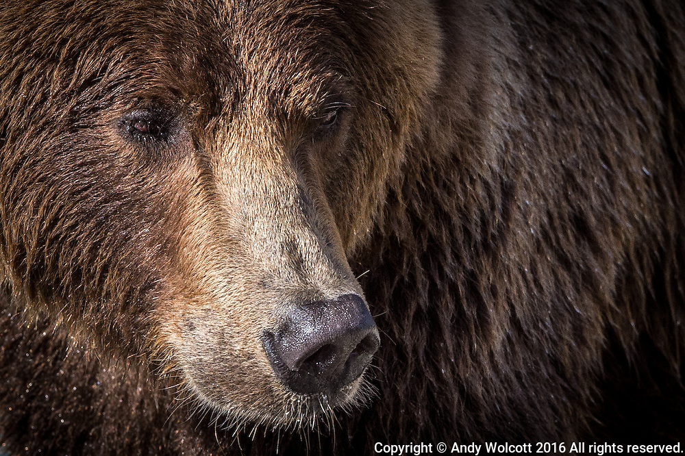 Grizzlies and Coastal Brown Bears are genetically identical - the difference being geography and diet.  Coastal Brown bears grow much larger than grizzlies due to the high protein content of their diet and the relatively easier life style along the more temperate coast lines of Alaska.
