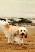 Bella the Dog Walking on the Sand