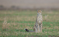Cheetah scanning for prey, Central Serengeti