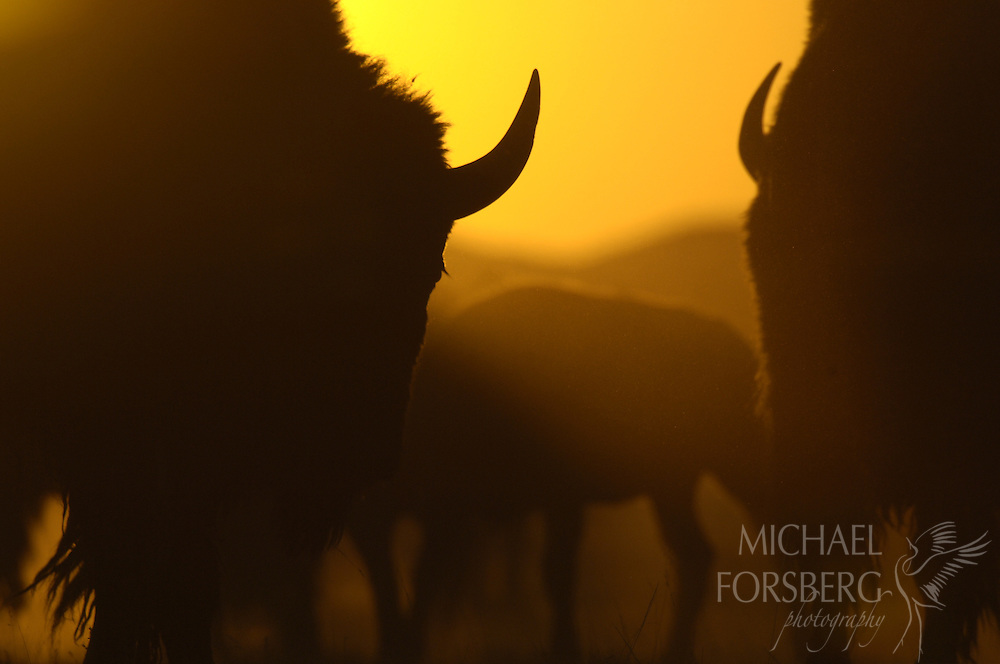 Buffalo Gap National Grassland, South Dakota...Bison herd in dusty sillhouette at sunset...
