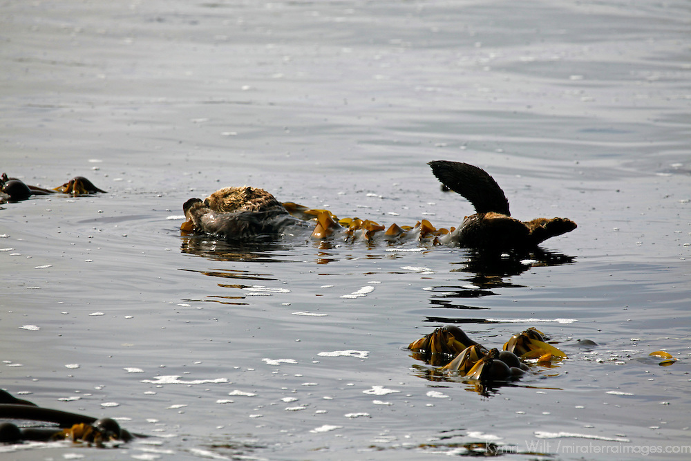 North America, Canada, British Columbia, Vancouver Island. A Sea Otter floating in the kelp of the Broken Group Islands.