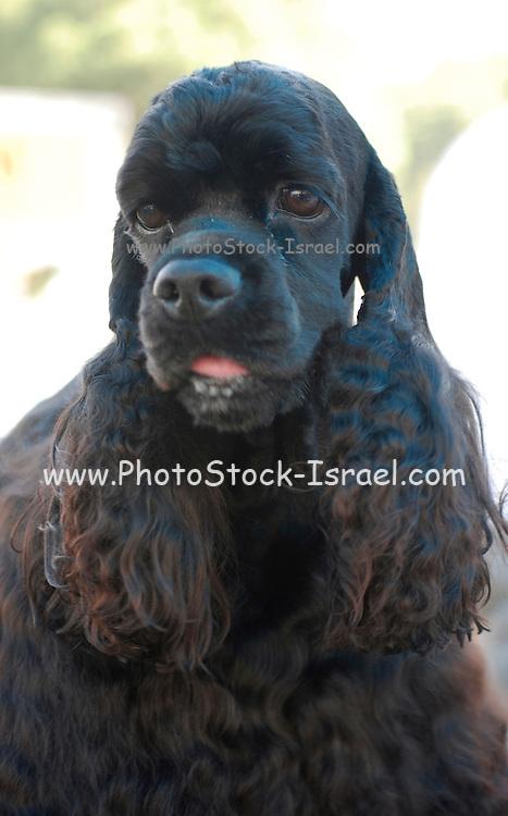 Israel, Tel Aviv, The International Dog Show 2010 Black American Cocker Spaniel