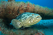 An endangered Goliath grouper, Epinephelus itajara, swims near a shipwreck in Palm Beach County, Florida, United States