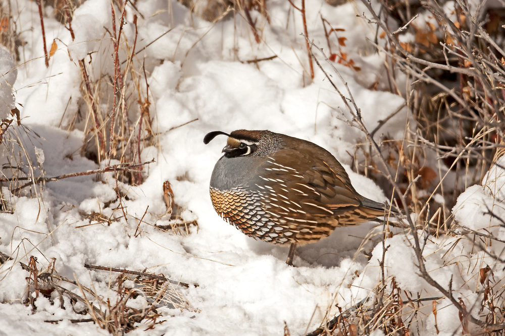 A male California Quail rests in the sun on a cold snowy hillside.