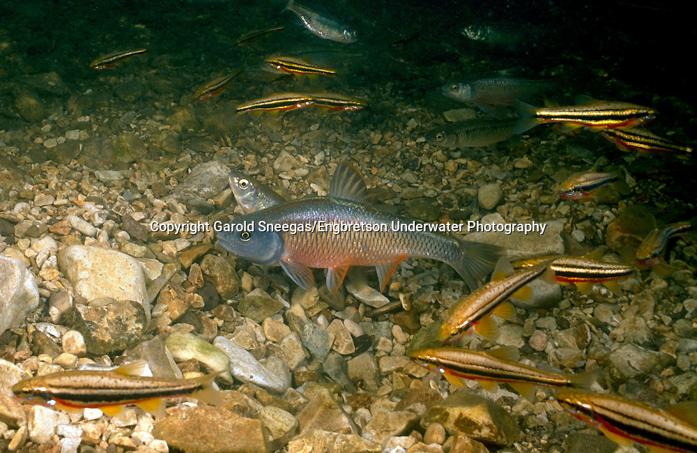 Common Shiner<br />