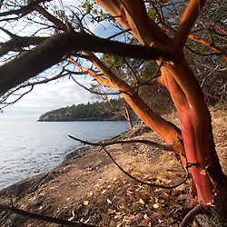 Madrona Tree (Arbutus menziesii) at Lime Kiln State Park, San Juan Island, Washington, US