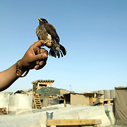 An Afghan soldier at an Afghan Strong Point in Zhari District, Kandahar Province, Afghanistan holds a pet bird known to them as a &quot;Mina&quot; which is a common pet amongst Afghan security forces. They clip the wings so the bird can't fly away.<br /> July 5, 2008<br /> The Canadian Press Images/Louie Palu<br /> CANADIAN SALES AND USE ONLY. NO INTERNATIONAL SALES OR USE.