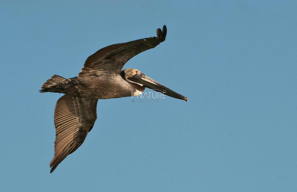 Brown pelican in flight in Belize.
