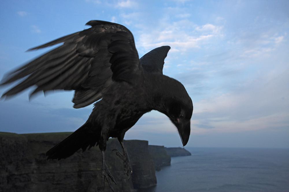 Tame raven (Corvus corax) in front of Cliffs of Moher, Ireland