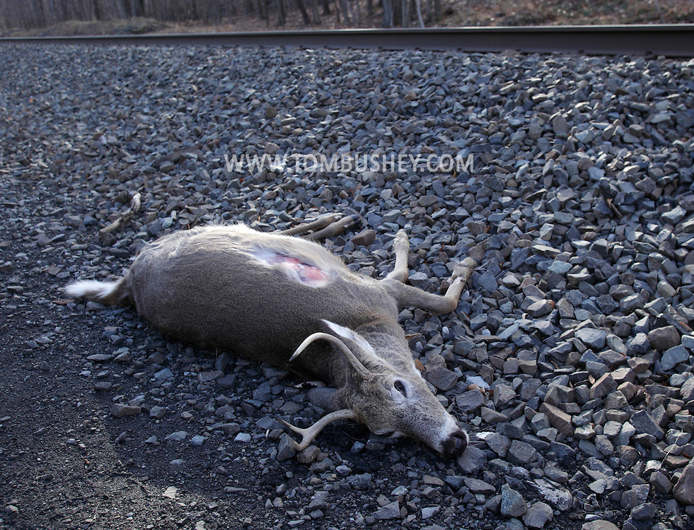 Mountainville, New York - A dead white-tailed deer that was hit by a train lays by the railroad tracks on the side of Schunnemunk Mountain on