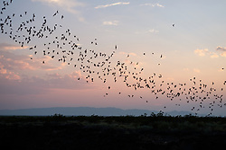 Trail of Mexican free-tailed bats in flight against evening sky after emerging from roost in lava tubes on Armendaris Ranch, Ted Turner Expeditions, near Truth or Consequences, New Mexico, USA.