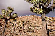 Joshua trees in Joshua Tree National Park, California.