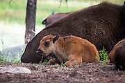 Bison calf, or American buffalo, near the Yellowstone River, between Tower Junction and Lamar Valley, Yellowstone National Park, Wyoming. There's around 3,700 bison the park, of the Plains Bison subspecies. Yellowstone may be the only place where bison have not been hunted out of existence,  although the population plummeted due to poaching at the turn of the 20th century.   The population is still under threat - when they roam outside the park boundaries, and from claims that they transmit disease such as bas brucellosis to  cattle.