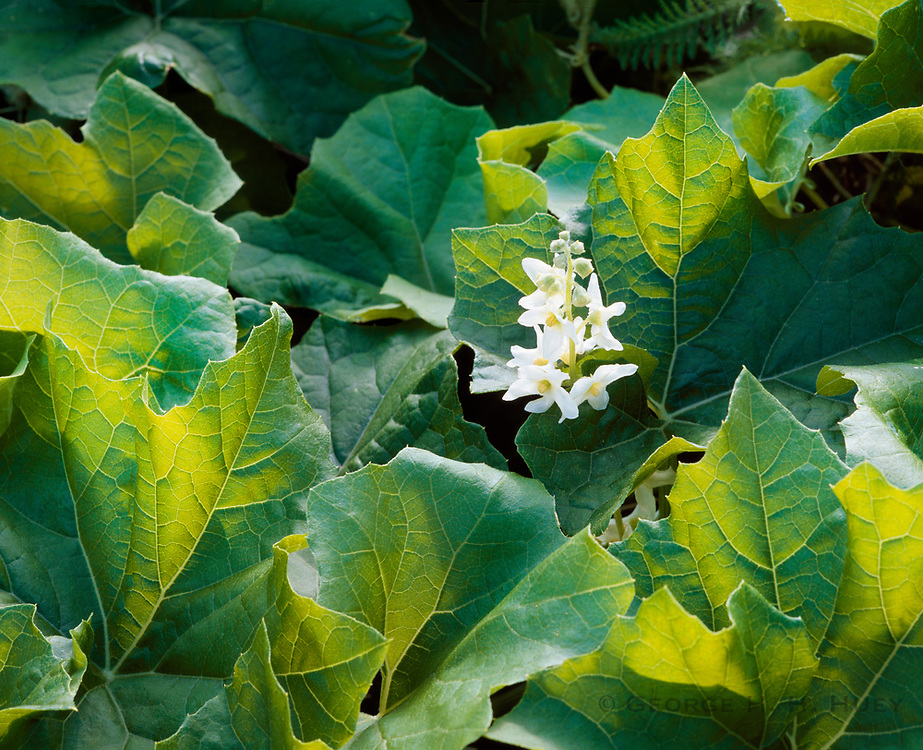 0603-1022 ~ Copyright: George H.H. Huey ~ Wild cucumber [Marah marcrocarpus] in bloom.  Santa Barbara Island, Channel Islands National Park, California.