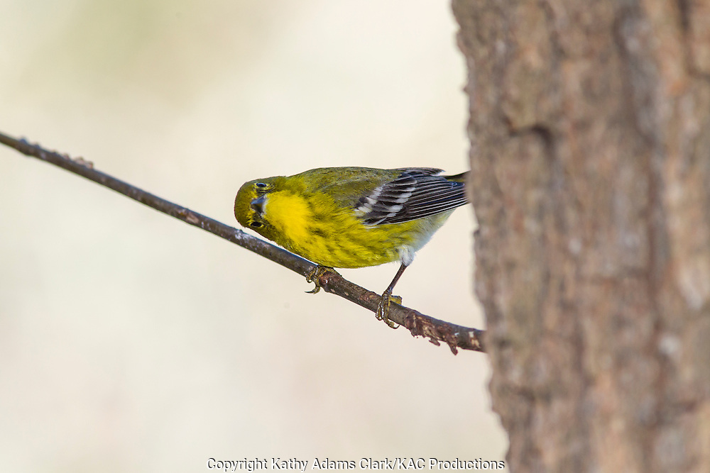 Pine warbler, perched on a branch, in the winter, The Woodlands, Texas