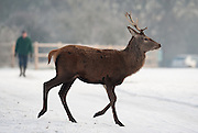 "London December 23rd  A deer standing in icy Richmond Park on December 23rd .The Met Office has issued several warnings of ""widespread icy roads"" for most of England, Scotland and Northern Ireland. ....***Agreed Fee's Apply To All Image Use***.Marco Secchi /Xianpix. tel +44 (0) 771 7298571. e-mail ms@msecchi.com .www.marcosecchi.com"