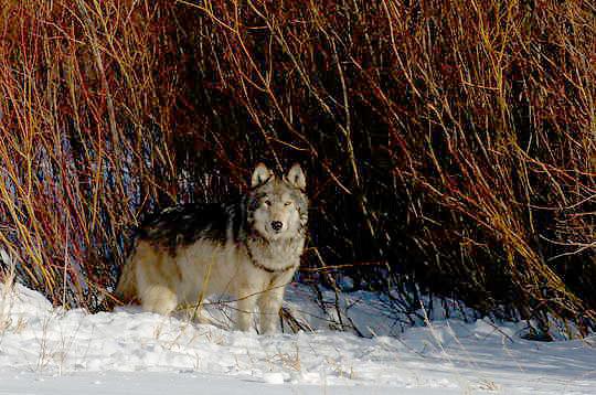 Gray Wolf (Canis lupus) Sitting near willows. Winter. Montana.  Captive Animal.