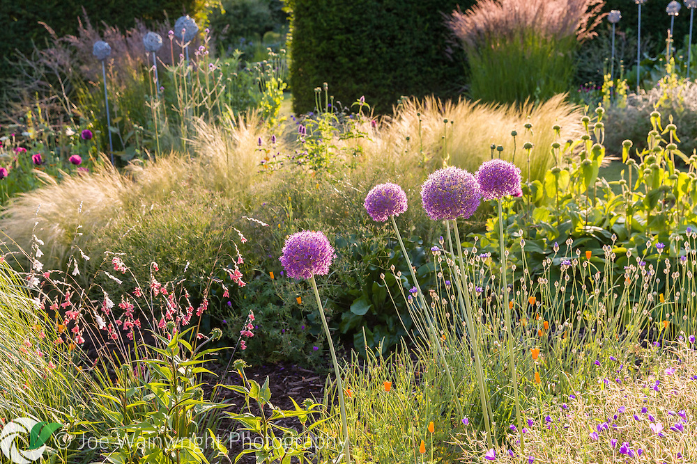 Alliums backlit by evening sun, in a herbaceous border at Bluebell Cottage Gardens - photographed in July