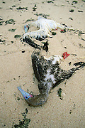 Dead Birds, Gaferut Island, Yap, Caroline Islands, Federated States of Micronesia, Micronesia<br />