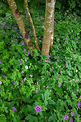 Geranium nodosum - Knotted cranesbill - growing under trees in a shady part of the garden at Glebe Cottage. Cranesbill