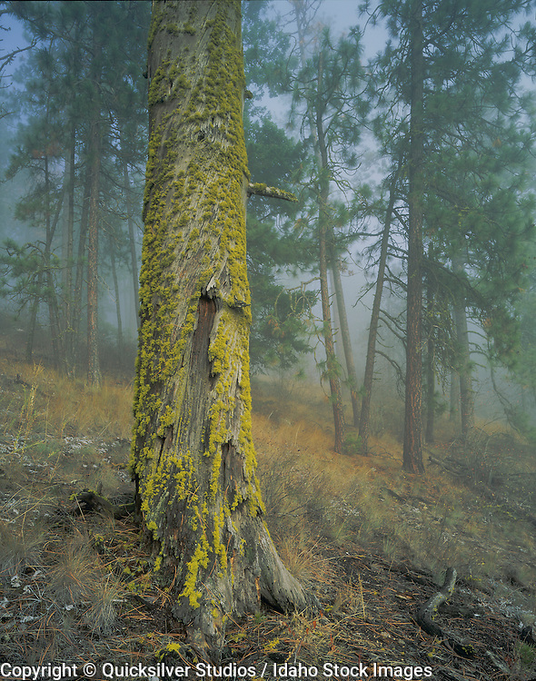 Mossy tree and fog. Northern Idaho.
