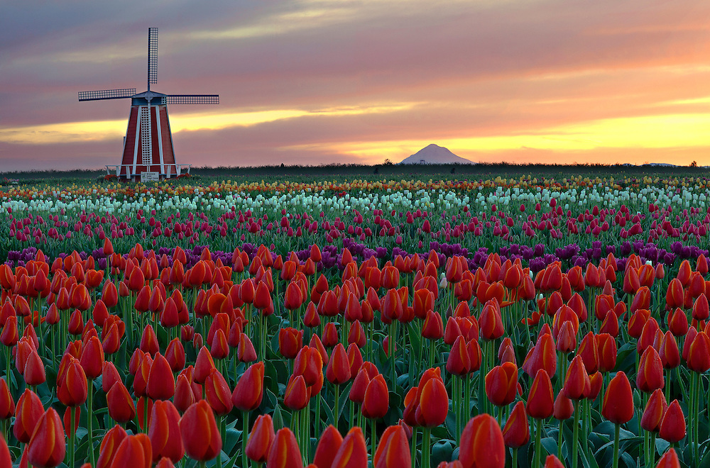 A new day dawns at Wooden Shoe Tulip Farm in Oregon's Willamette Valley, with Mt. Hood silhouetted on the distant horizon.
