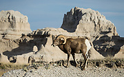 Bighorn sheep (Ovis canadensis). Badlands National Park has the largest undisturbed mixed grass prairie in the United States. Erosion has exposed layers of ancient colorful sediments in this corner of South Dakota, USA.