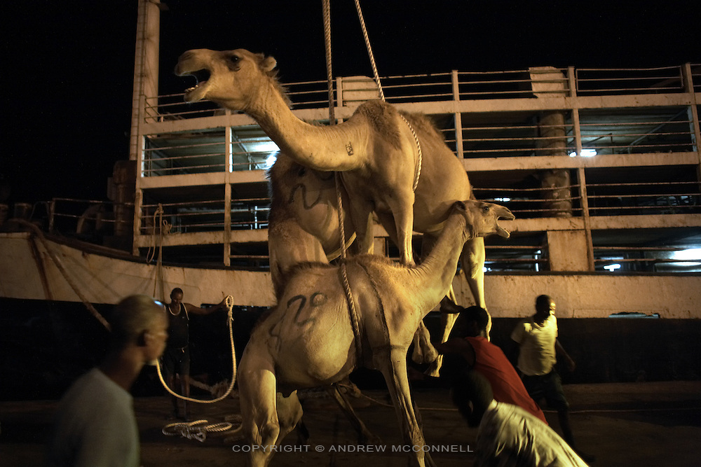 Camels are loaded onto a ship to be exported to Saudi Arabia at the port in Berbera, Somaliland. Livestock is the country's major export with approximately 60% of foreign currency earned from export to the Middle East..