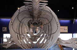 USA ALASKA KODIAK 27JUN12 - Grey Whale skeleton on display at the Bear Visitor Centre in Kodiak, Alaska.....Photo by Jiri Rezac / Greenpeace