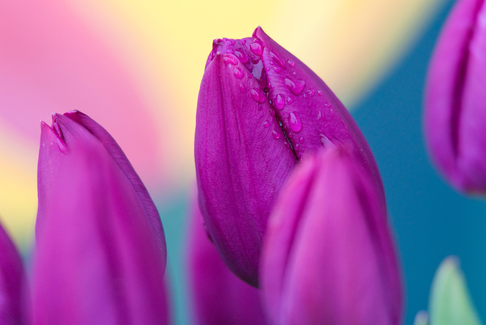 Purple tulips dotted with droplets of fresh spring rain.
