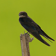 A Juvenile Barn Swallow (Hirundo rustica)  in a rice paddy in Ratchaburi, Thailand