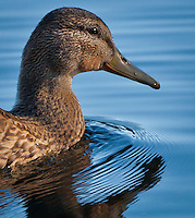 female Mallard duck (Anas platyrhynchos) a surface-feeding duck swimming pushing ripples ahead in Takhlakh Lake in the Gifford Pinchot National Forest, Washington state, USA panorama