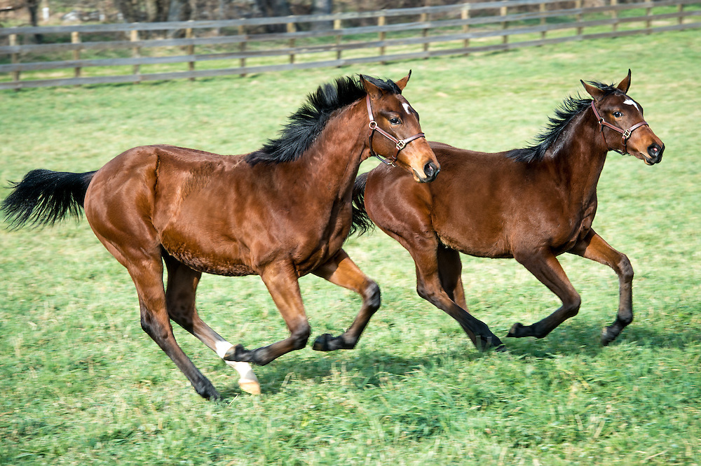 Two horses running side by side inside a fenced area on a farm in Maryland.
