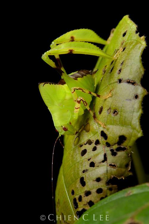 Leaf katydid (Eulophophyllum lobulatum), juvenile. Sabah, Malaysia.