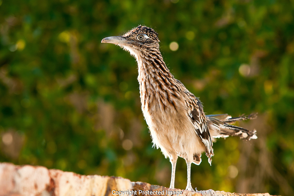 After mating for life the male and female Greater Roadrunners maintain a territory with absolute vigilance for any other intruding Roadrunners. This tattered female Roadrunner was not attempting to evade Wile E. Coyote but, her life mate.