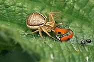 Crab Spider - Xysticus cristatus - with ladybird prey