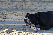 black Dog plays on a sandy beach