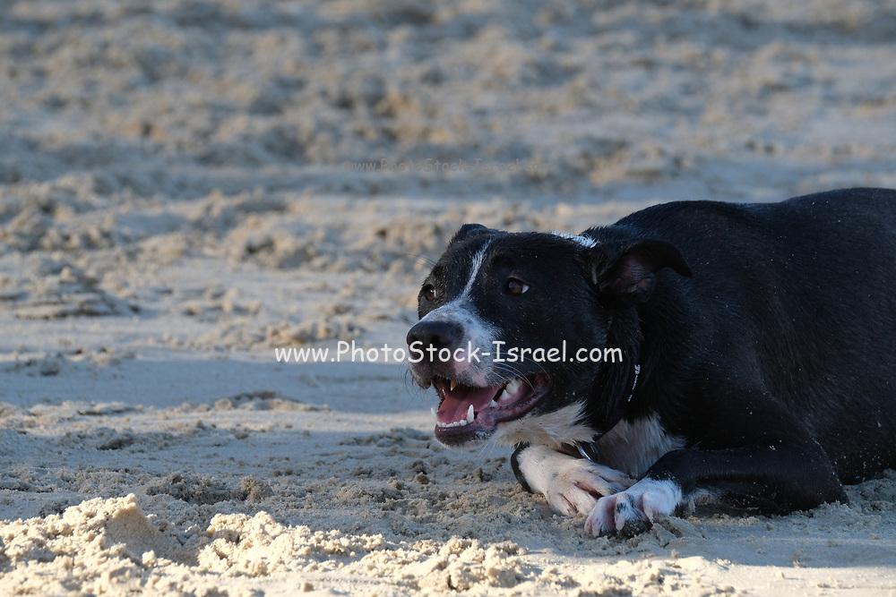 black Dog plays on a sandy beach