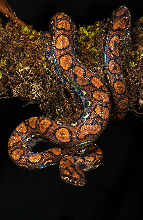 Rainbow boa (Epicrates cenchria) <br /> Tena, Amazon rain forest, ECUADOR, South America<br /> All rainbow boas have dazzling irridescence of their skin.<br /> Found in forests, woodlands and savannahs adjact to forests.<br /> Non-venemous snake. They eat small mammals and birds and juveniles eat frogs.  Very strong constrictors and reach to a length of about 2 meters.  They give birth to live young.  Geographic Range: S. Venezuela, Guyana so Suriname through Amazon Basin of Ecuador, Peru, Bolivia and Brazil.