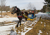 """""""Gilford"""" a 9 year old Arab Percherom pulls an 1895 sleigh with Rick and Connie Moses on board Monday morning at Bolduc Park.  The sleigh has been restored by the late Don Chesebrough and Bob Bolduc.    (Karen Bobotas/for the Laconia Daily Sun)"""