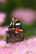 Red admiral butterfly with folded wings on Sedum at Hestercombe Gardens, Cheddon Fitzpaine, Somerset England.