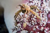Orangutan Crab, covered in Algae and Anemones<br /> <br /> Shot in Indonesia