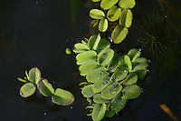 Salvinia (Salvinia natans) close up, Lake Tisza, Hortobagy National Park, Hungary