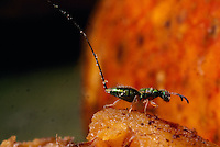 This female gravid wasp will use her long ovipositor to lay her eggs without ever entering or pollinating the fig.
