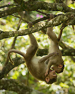 Two bonnet macaques hang from a tree branch and play fight, Nandi Hills, Karnataka, India