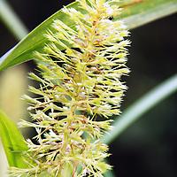 Flor en las riberas del Rio Autana, estado Amazonas, Venezuela. ©Jimmy Villalta