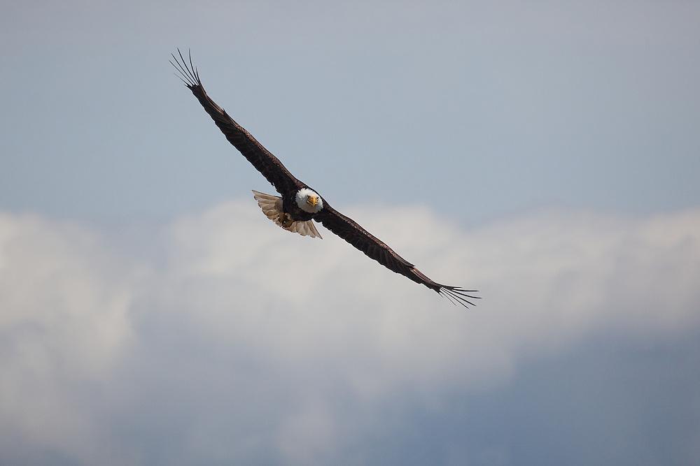 Bald Eagle in flight near Bellingham, WA