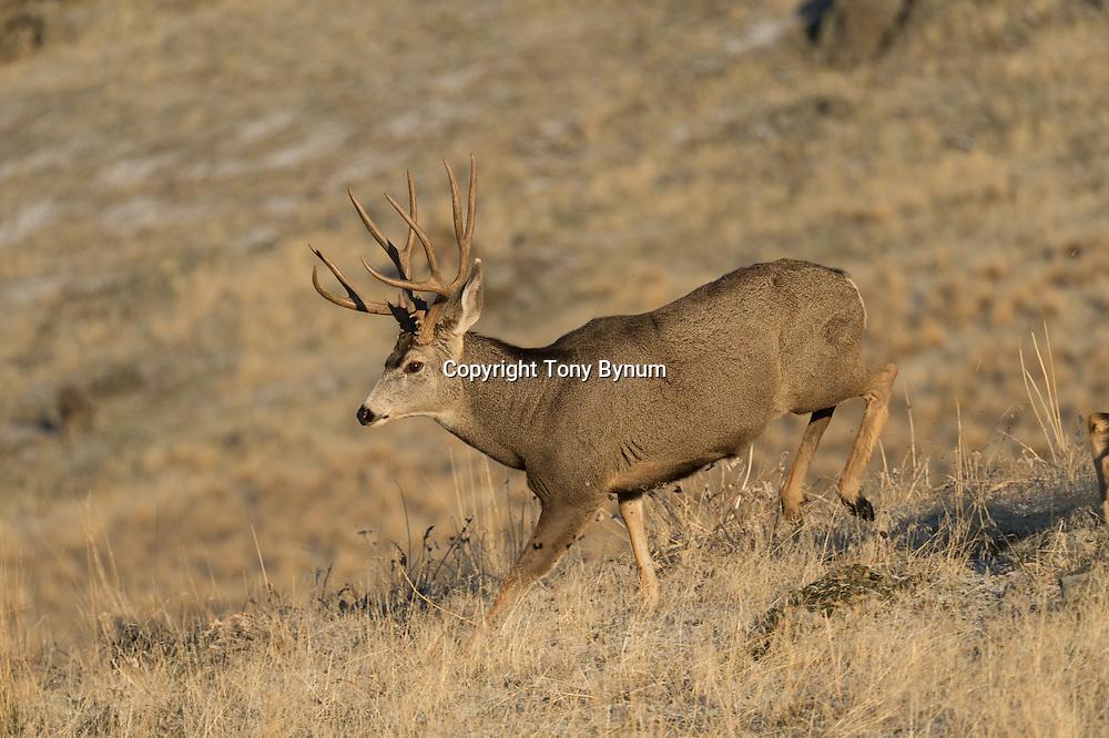 mule deer buck fall rut